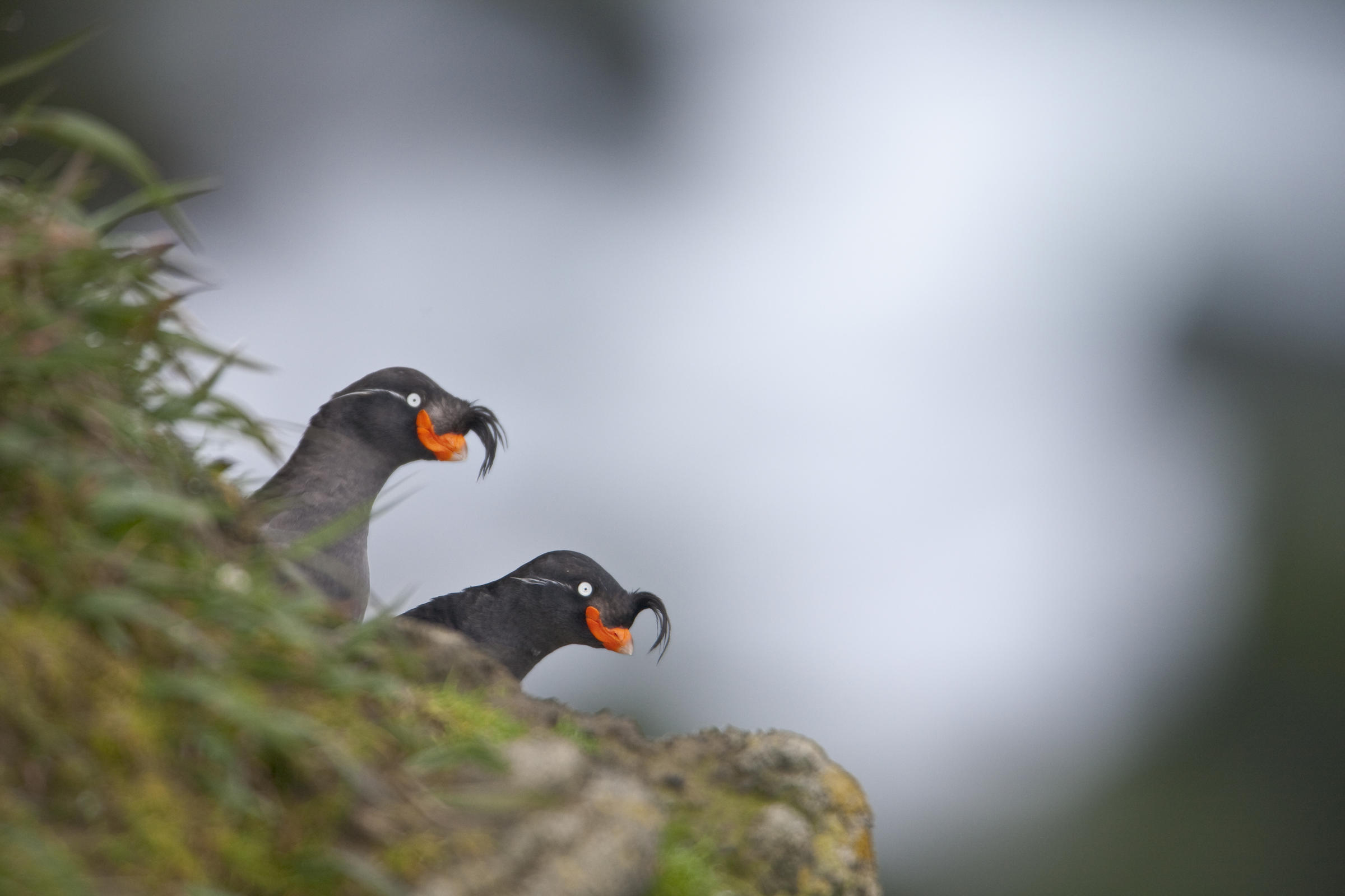 Crested Auklets