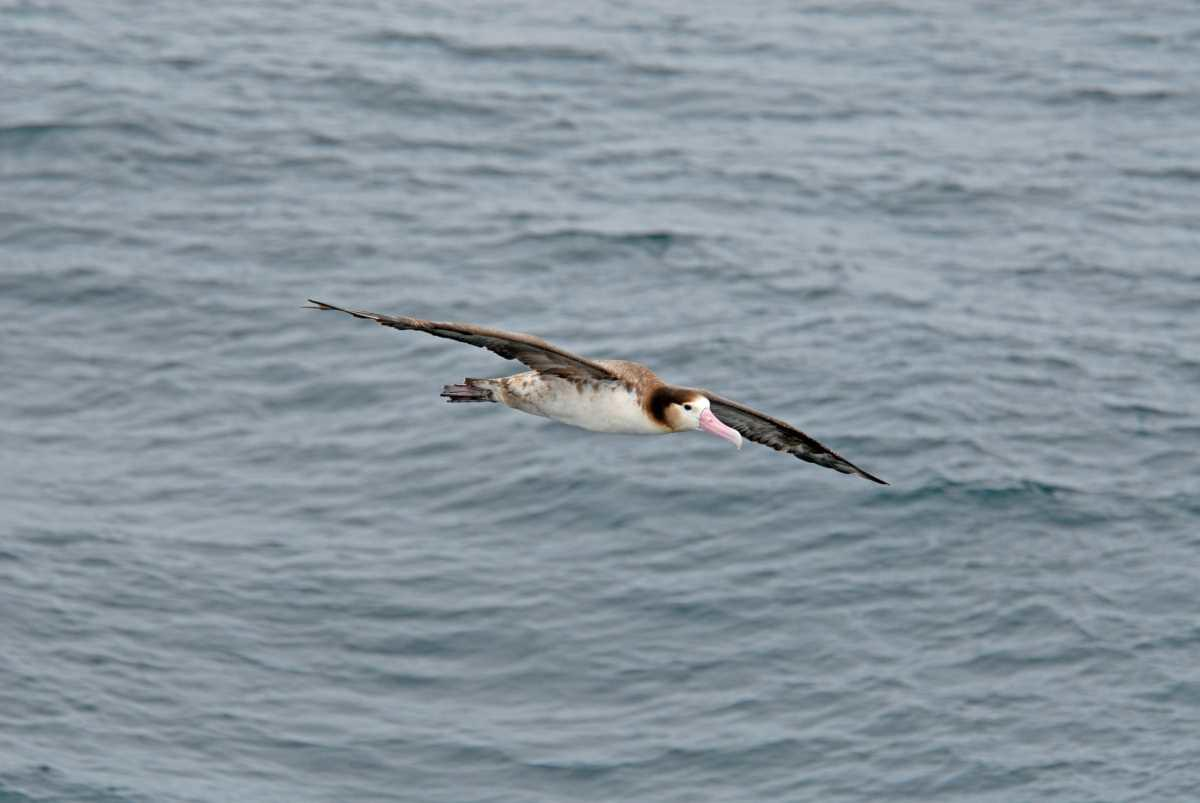 Short-tailed Albatross have a wingspan of over 7 ft.
