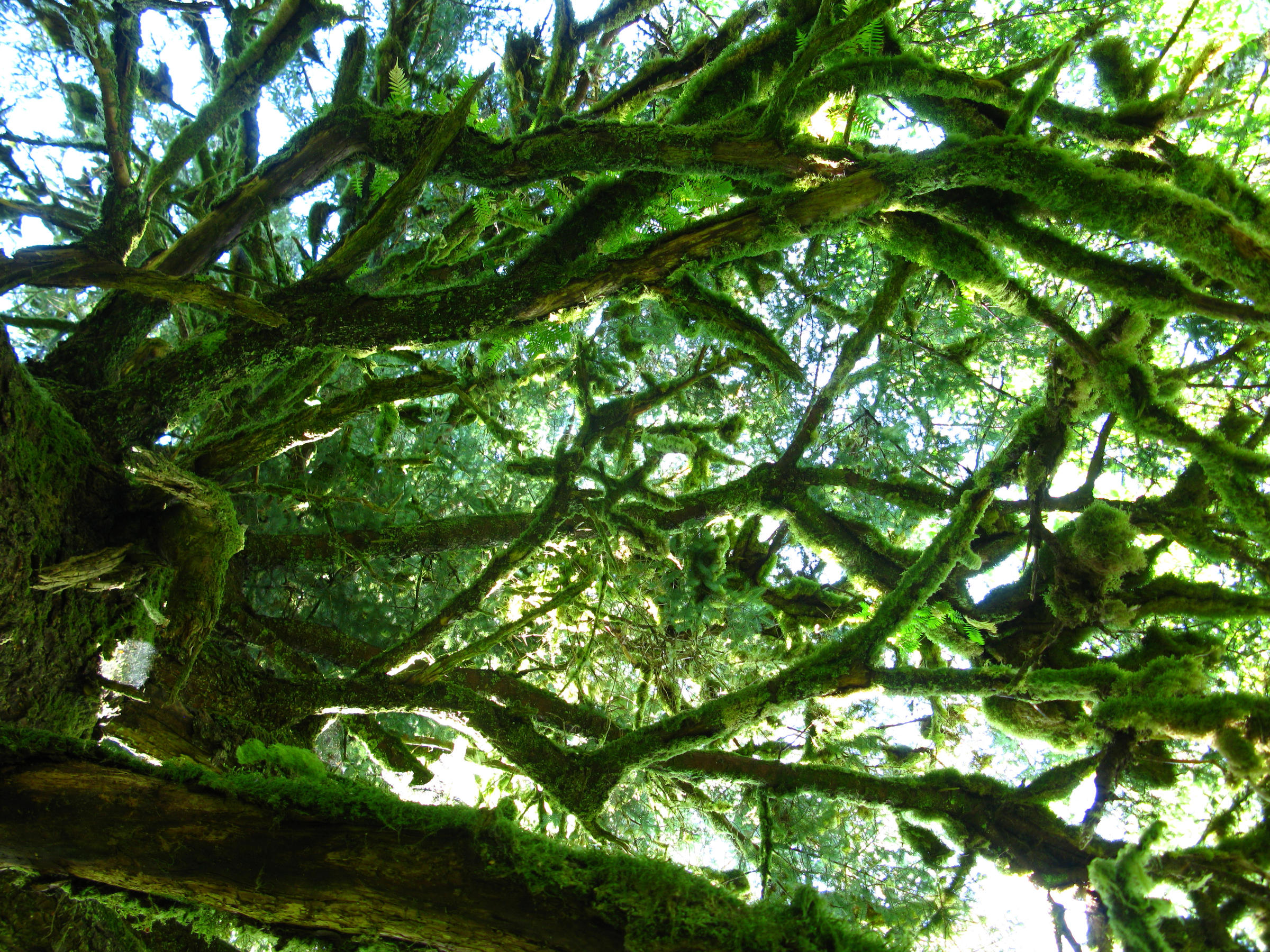 Looking up into Tongass trees.